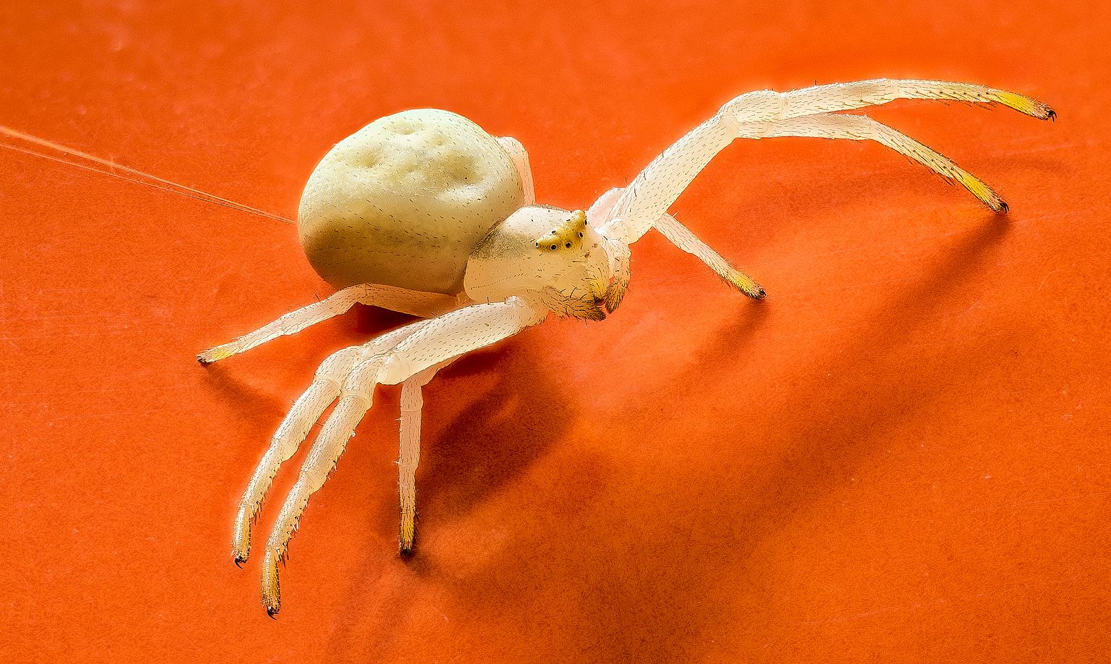 fotografía macro de una araña cangrejo