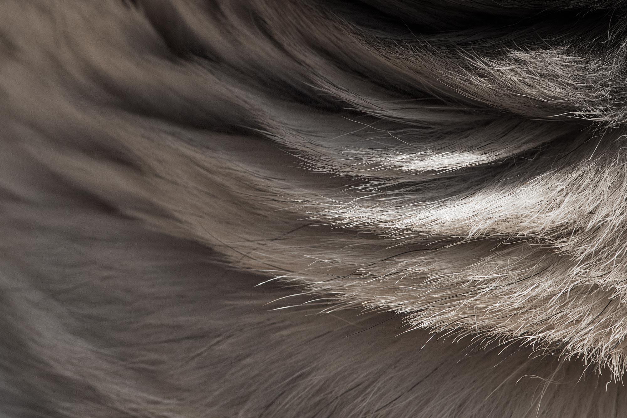 pelo de perro carlino macro