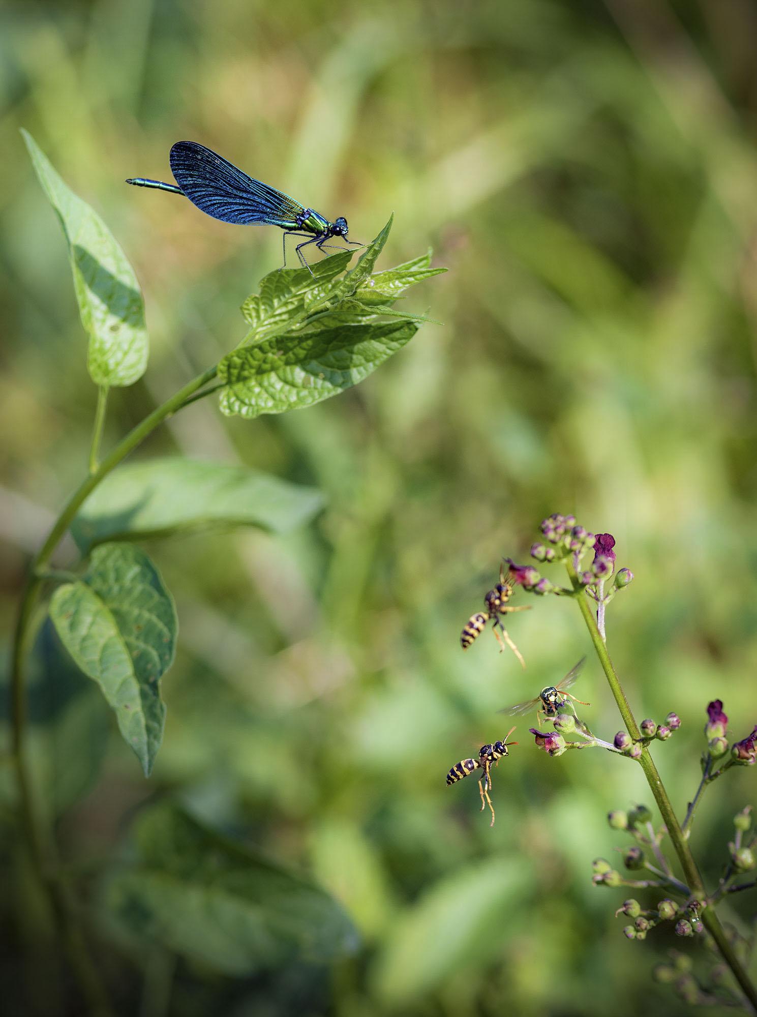 libélula macro